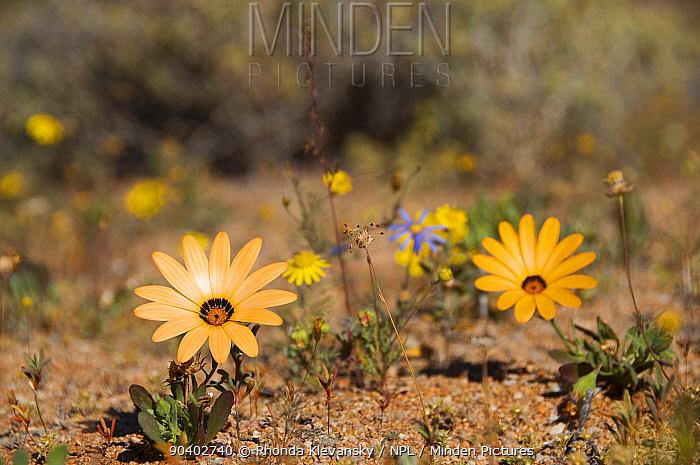 African daisies (Osteospermum pinnatum) in flower, Richtersveld National Park and World Heritage Site, Northern Cape, South Africa, August  -  Rhonda Klevansky/ npl