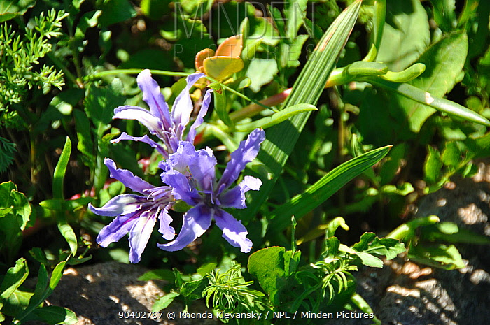 Minden Pictures Stock Photos Iris Babiana Sp In Flower