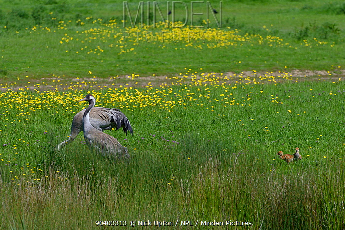 Two 2 day Common, Eurasian crane chicks (Grus grus) following their parents, Monty and Chris, released by the Great Crane Project in 2010, as they forage on pastureland bordering a sedge marsh, Slimbridge, Gloucestershire, UK, May 2014  -  Nick Upton/ npl
