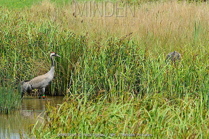 Common, Eurasian crane (Grus grus) Monty, released by the Great Crane Project, wading in a sedge pool towards his nest site, to relieve his mate Chris of incubation duties, Slimbridge, Gloucestershire, UK, May 2014  -  Nick Upton/ npl