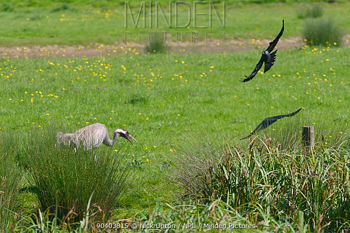 Common, Eurasian crane (Grus grus) Monty, released by the Great Crane Project in 2010, chasing away two Jackdaws (Corvus monedula) who had apprached too close to his young chicks on pastureland bordering a sedge marsh, Slimbridge, Gloucestershire, UK, May 2014  -  Nick Upton/ npl