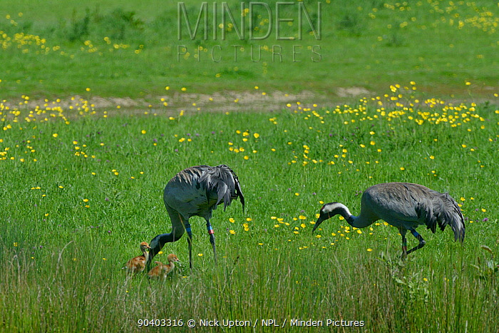 Common, Eurasian crane (Grus grus) Monty, released by the Great Crane Project in 2010, bringing invertebrate food to his two 2 day chicks in pastureland bordering a sedge marsh, as his mate Chris forages next to them, Slimbridge, Gloucestershire, UK, May 2014  -  Nick Upton/ npl