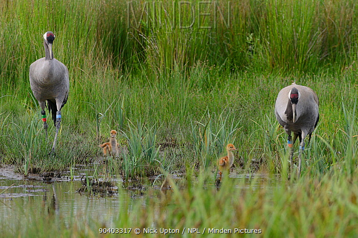 Common, Eurasian cranes (Grus grus) Monty and Chris, released by the Great Crane Project in 2010, walking through a sedge marsh close to their nest site with their two 2 day chicks, Slimbridge, Gloucestershire, UK, May 2014  -  Nick Upton/ npl