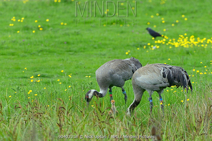 4 year Common, Eurasian cranes (Grus grus) Monty and Chris, released by the Great Crane Project in 2010, foraging on pastureland bordering a sedge marsh with their two 2 day chicks (one partly hidden between Chriss legs), Slimbridge, Gloucestershire, UK, May 2014  -  Nick Upton/ npl