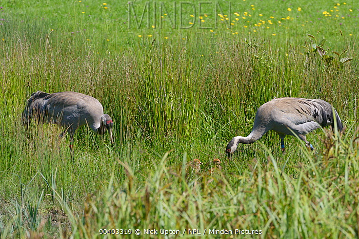 Common, Eurasian cranes (Grus grus) Monty and Chris, released by the Great Crane Project in 2010, foraging in a sedge marsh to feed their two 2 day chicks, Slimgridge, Gloucestershire, UK, May 2014  -  Nick Upton/ npl