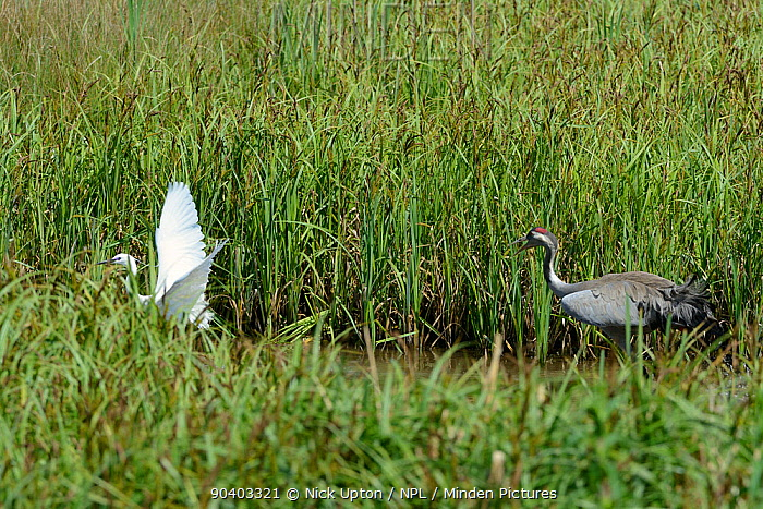 4 year Common, Eurasian crane (Grus grus) Monty, released by the Great Crane Project in 2010, chasing away a Little egret (Egretta garzetta) who had apprached too close to his nest site in a sedge marsh, Slimbridge, Gloucestershire, UK, May 2014  -  Nick Upton/ npl