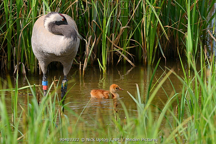 Two day Common, Eurasian crane chick (Grus grus) swimming in a marshland sedge pool, as its mother Chris, who was released by the Great Crane Project in 2010, preens nearby, Slimbridge, Gloucestershire, UK, May 2014  -  Nick Upton/ npl