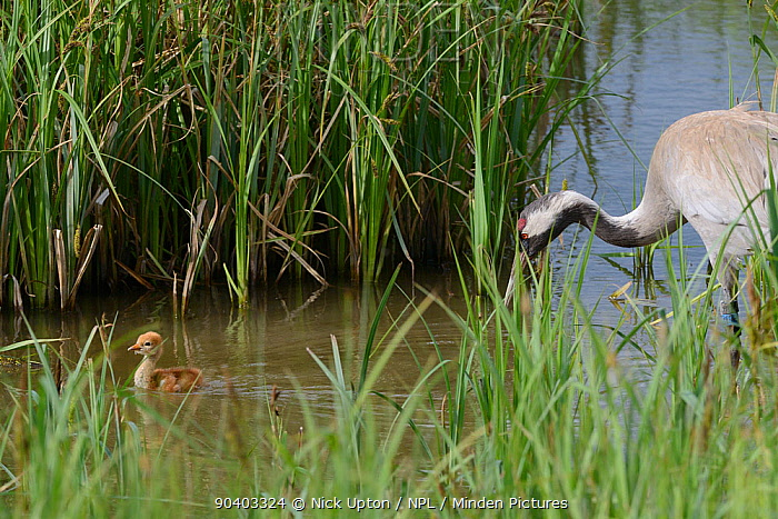 Two day Common, Eurasian crane chick (Grus grus) swimming in a marshland sedge pool, followed closely by its mother Chris, who was released by the Great Crane Project in 2010, Slimbridge, Gloucestershire, UK, May 2014  -  Nick Upton/ npl