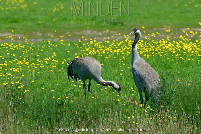 Common, Eurasian crane (Grus grus) Chris aged 4 years,released by the Great Crane Project in 2010, offering food to one of her two day chicks in pastureland bordering a sedge marsh, as her mate Monty looks out for predators, Slimbridge, Gloucestershire, UK, May 2014  -  Nick Upton/ npl