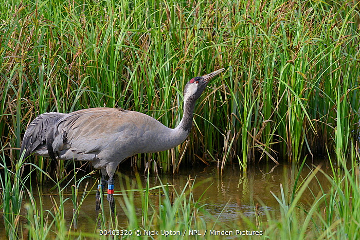 Common, Eurasian crane (Grus grus) Chris aged 4 years,released by the Great Crane Project, drinking in a marshland sedge pool close to her nest site, Slimbridge, Gloucestershire, UK, May 2014  -  Nick Upton/ npl