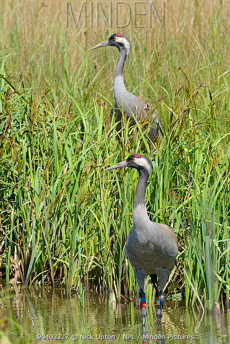 Common, Eurasian crane (Grus grus) Chris, released by the Great Crane Project, standing in a sedge pool as her mate Monty stands on their nest after taking over incubation duties from her, Slimbridge, Gloucestershire, UK, May 2014  -  Nick Upton/ npl