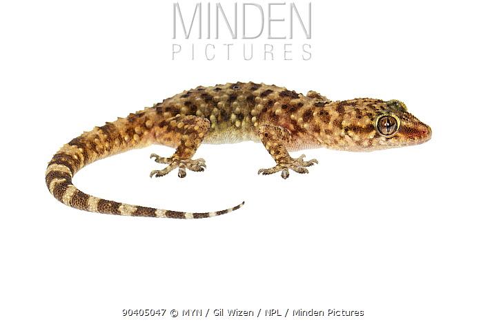 Minden Pictures Stock Photos Mediterranean House Gecko