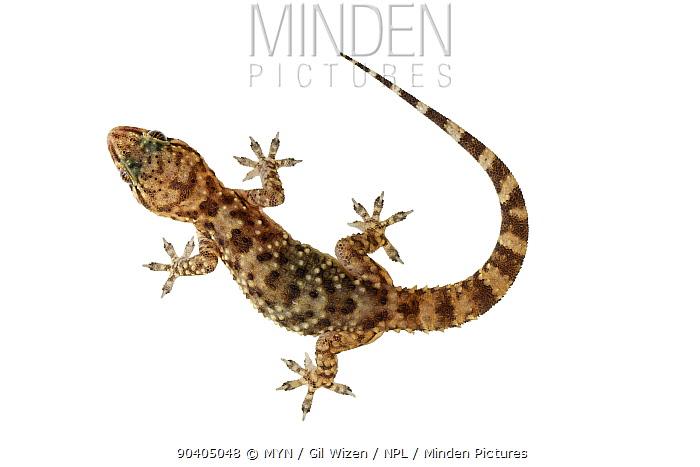 Mediterranean house gecko (Hemidactylus turcicus) Central Coastal Plain, Israel, April Meetyourneighboursnet project  -  MYN/ Gil Wizen/ npl