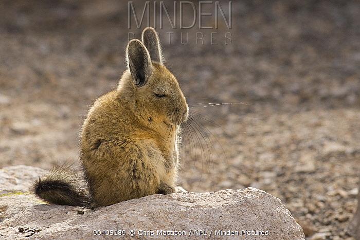 Viscacha (Lagidium viscacia) resting, Chilean Andes, Chile  -  Chris Mattison/ npl