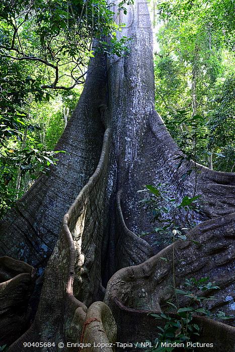 Great kapok (Ceiba pentandra) tree, trunk and buttress roots, Cantanhez National Park, Guinea-Bissau  -  Enrique Lopez Tapia/ npl