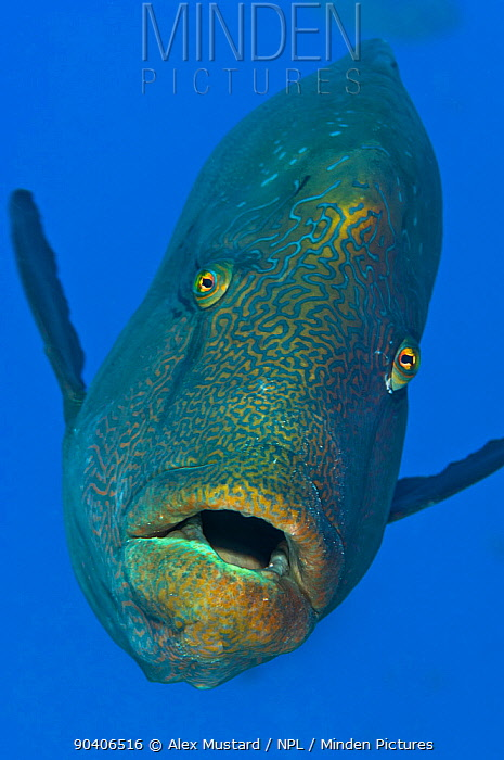 Adult male Napoleon wrasse (Cheilinus undulatus) swimming in open water adjacent to coral reef Ras Mohammed Marine Park, Sinai, Egypt Red Sea Endangered species  -  npl/ npl