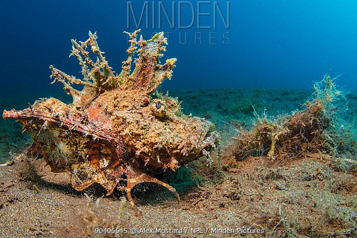 Devil scorpionfish (Inimicus didactylus) moves across sandy seabed Dauin, Dumaguete, Negros, Philippines Bohol Sea, Tropical West Pacific Ocean  -  npl/ npl
