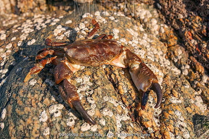Montagus or Furrowed Crab (Xantho hydrophilus) on sea shore, Sark, British Channel Islands  -  Sue Daly/ npl