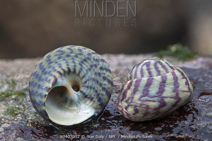 Purple Topshell (Gibbula umbilicalis) sea shells on beach, Sark, British Channel Islands  -  Sue Daly/ npl