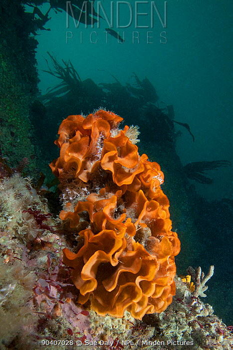 minden pictures stock photos ross bryozoan pentapora fascialis