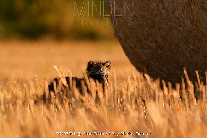 Raccoon dog (Nyctereutes procyonoides) young in field with hay bale, introduced species, Black Forest, Baden-Wurttemberg, Germany July  -  Klaus Echle/ npl