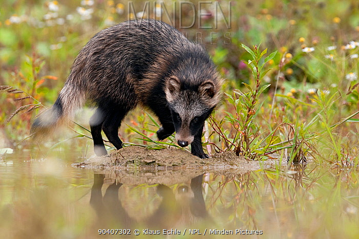Raccoon dog (Nyctereutes procyonoides) walking at waters edge, introduced species, Black Forest, Baden-Wurttemberg, Germany July  -  Klaus Echle/ npl