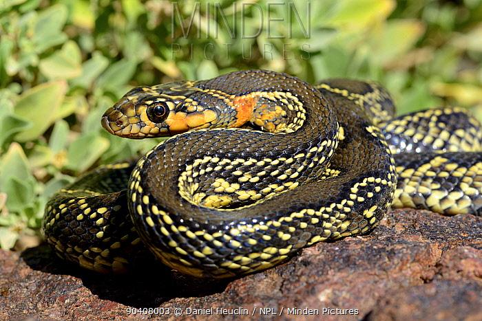 Horseshoe whip snake (Hemorrhois hippocrepis) portrait, Souss, Morocco  -  Daniel Heuclin/ npl