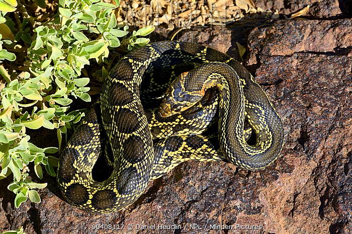 Horseshoe whip snake (Hemorrhois hippocrepis) coiled, Morocco  -  Daniel Heuclin/ npl