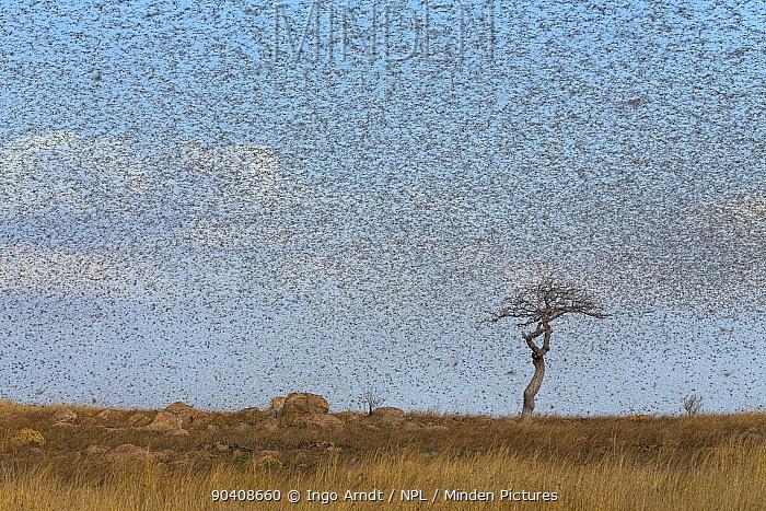 Migratory Locust (Locusta migratoria capito) swarm flying, near Isalo National Park, Madagascar August 2013  -  Ingo Arndt/ npl