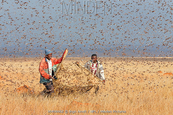 People catching Migratory locusts (Locusta migratoria capito) for human consumption with mosquito nets at early morning when they can not fly long distances Near Isalo National Park, Madagascar August 2013  -  Ingo Arndt/ npl