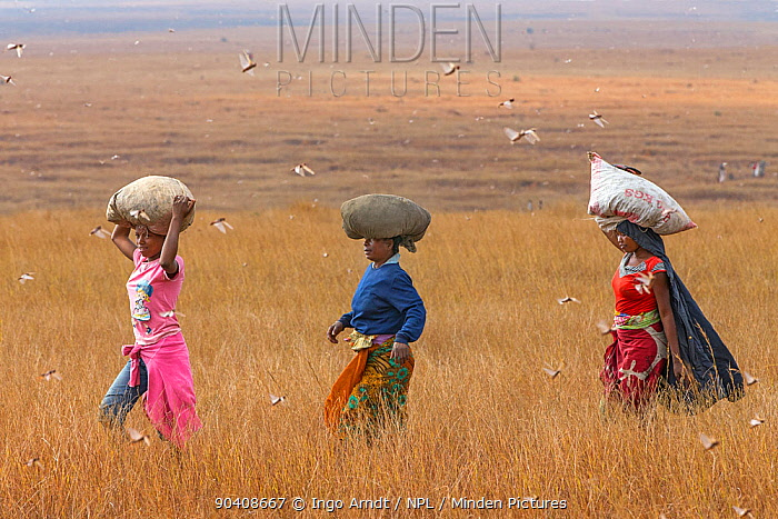 Women carrying bags of Migratory locusts (Locusta migratoria capito) on their heads, for human consumption, near Isalo National Park, Madagascar August 2013  -  Ingo Arndt/ npl