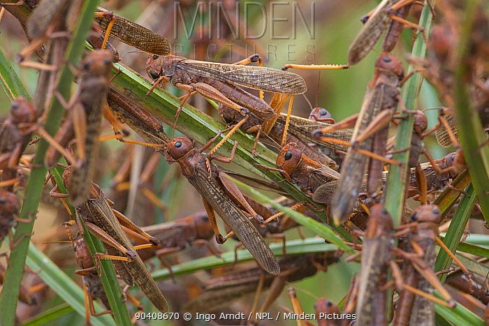 Migratory Locust (Locusta migratoria capito) adult animals feeding and resting in grass, near Isalo National Park, Madagascar August 2013  -  Ingo Arndt/ npl