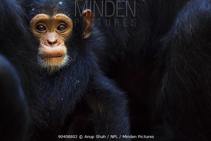 Eastern chimpanzee (Pan troglodytes schweinfurtheii) infant male Nyota aged less than 1 year peering emerging from betwwen some adults Gombe National Park, Tanzania  -  Anup Shah/ npl