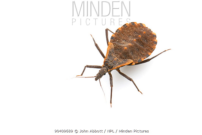 Blood Sucking Conenose Assassin Bug (Triatoma sp) nymph, Austin, Travis County, Texas, USA  -  John Abbott/ NPL