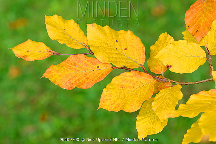 Beech leaves (Fagus sylvatica) in autumn, Wiltshire, UK, September  -  Nick Upton/ npl
