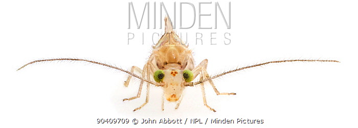 Bark Louse (Trichopsocus dalii) this introduced species is found in states on the Gulf and Atlantic coast of the USA, Aquarena Springs, San Marcos, Hays County, Texas, USA  -  John Abbott/ NPL