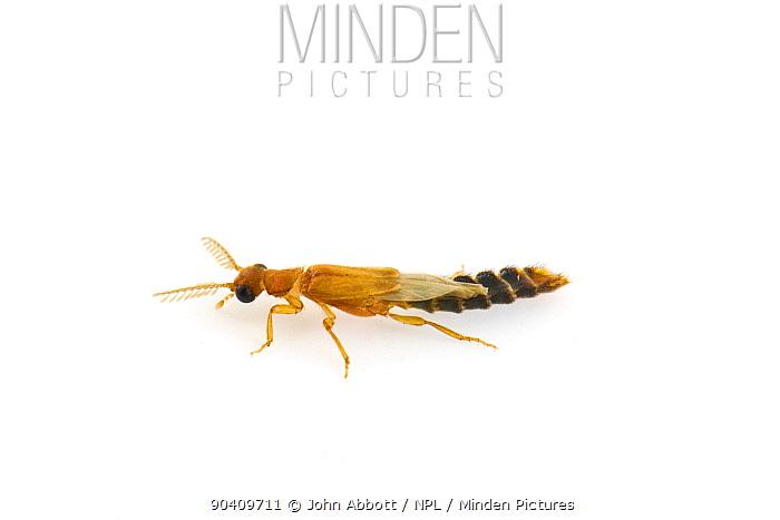 Glowworm Beetle (Distremocephalus texanus) Wild Basin Wilderness Preserve, Austin, Travis County, Texas, USA  -  John Abbott/ NPL