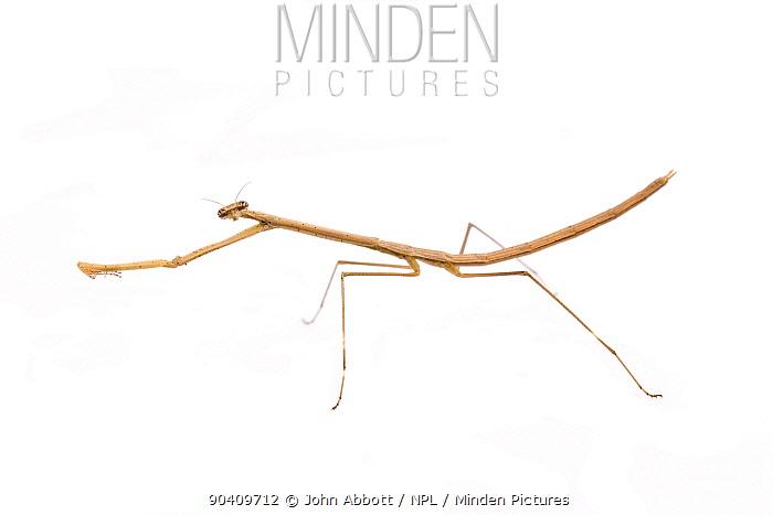 Grasslike Mantid (Thesprotia graminis) female, Montgomery, Montgomery County, Texas, USA  -  John Abbott/ NPL