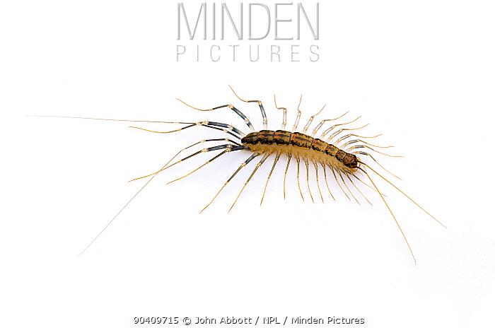 House Centipede (Scutigera coleoptrata) Cibolo Creek, Bexar, Guadalupe County line, Texas, USA  -  John Abbott/ NPL