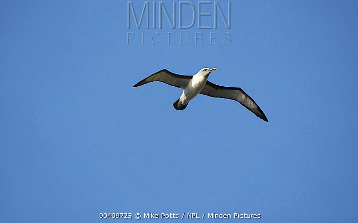 Bullers albatross (Thalassarche bulleri) in flight Snares Islands, New Zealand, February  -  Mike Potts/ npl