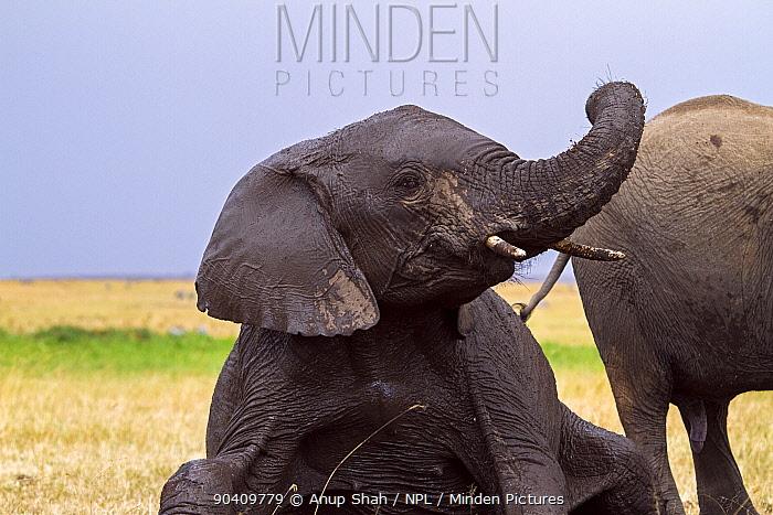 African elephant (Loxodonta africana) juvenile covered in mud after wallowing Maasai Mara National Reserve, Kenya Feb 2012  -  Anup Shah/ npl
