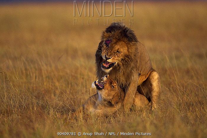African lions mating (Panthera leo) Maasai Mara National Reserve, Kenya Feb 2012  -  Anup Shah/ npl