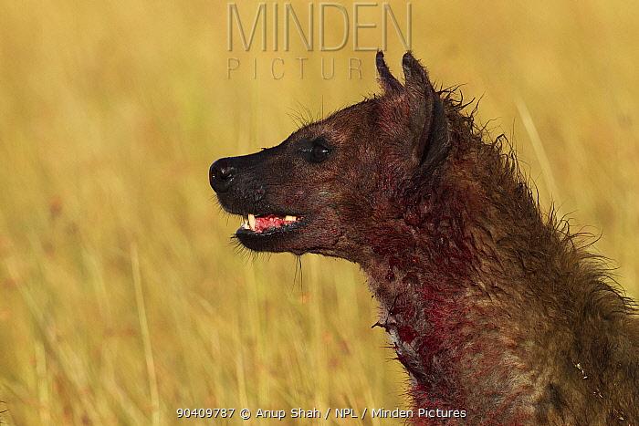 Spotted hyena (Crocuta crocuta) covered in blood after feeding on a kill Maasai Mara National Reserve, Kenya Feb 2012  -  Anup Shah/ npl