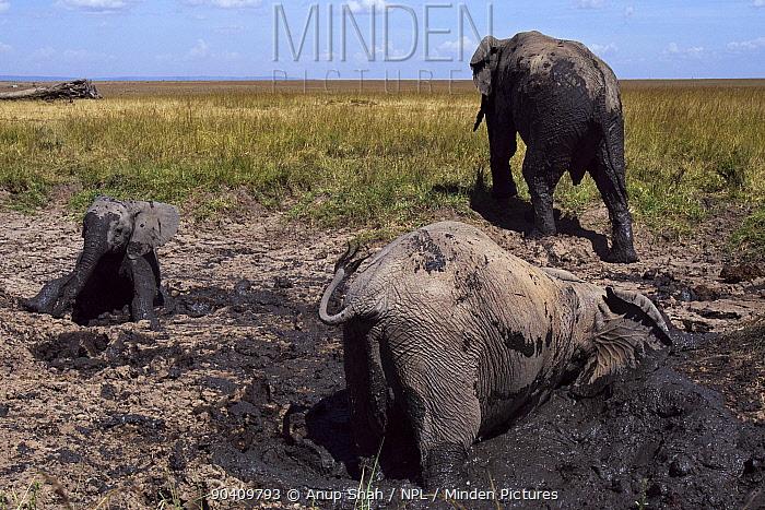 African elephants wallowing and playing in mud at a dried up waterhole (Loxodonta africana) Maasai Mara National Reserve, Kenya Feb 2012  -  Anup Shah/ npl