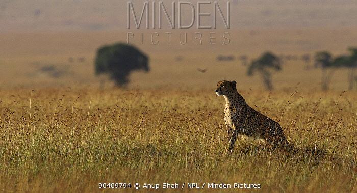 Cheetah (Acinonyx jubatus) female sitting on a termite mound Maasai Mara National Reserve, Kenya Feb 2012  -  Anup Shah/ npl
