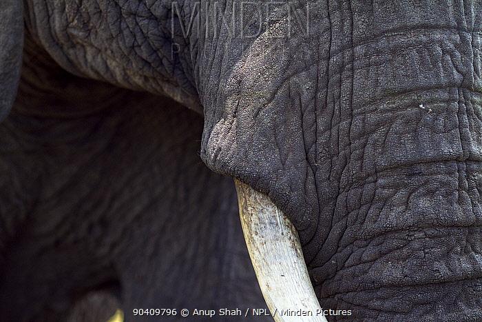 African elephant (Loxodonta africana) close-up of tusk Maasai Mara National Reserve, Kenya Feb 2012  -  Anup Shah/ npl