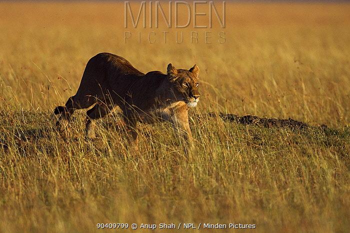 African Lioness (Panthera leo) running through grass Maasai Mara National Reserve, Kenya Feb 2012  -  Anup Shah/ npl