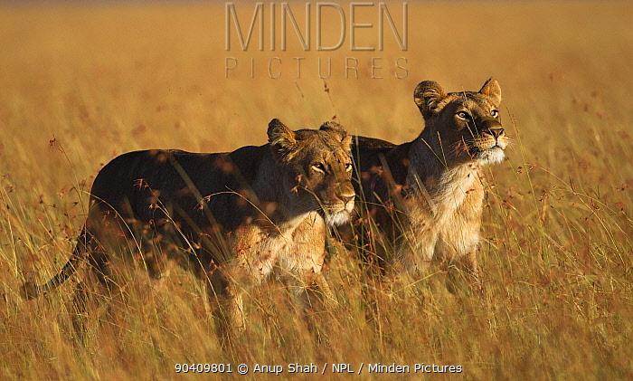 Two African Lionesses (Panthera leo) walking through grassland Maasai Mara National Reserve, Kenya Feb 2012  -  Anup Shah/ npl