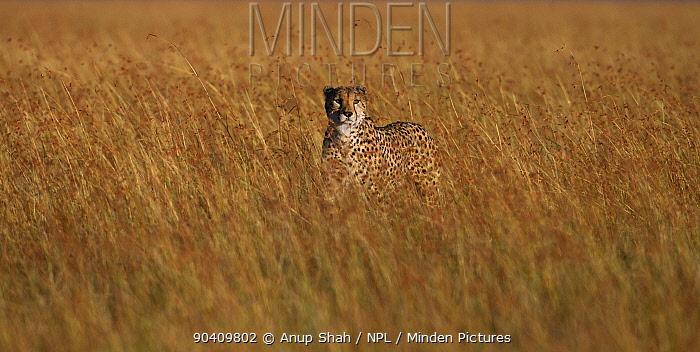 Cheetah (Acinonyx jubatus) male walking through tall grass Maasai Mara National Reserve, Kenya Feb 2012  -  Anup Shah/ npl