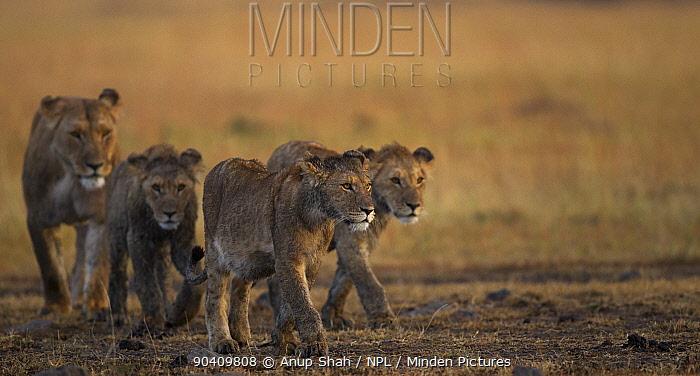 African Lioness (Panthera leo) walking with three cubs aged 1 year Maasai Mara National Reserve, Kenya Feb 2012  -  Anup Shah/ npl